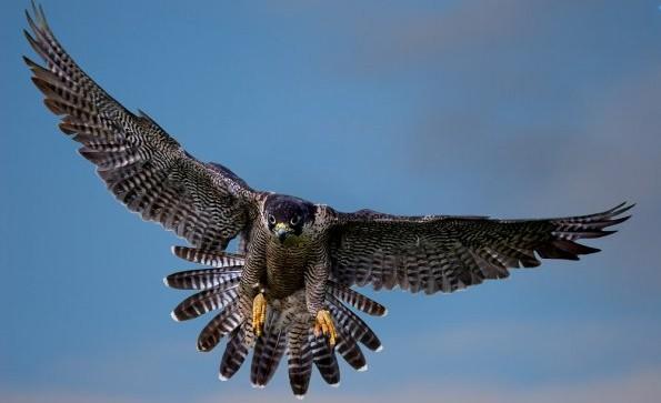 halcones-contra-palomas-en-buenos-aires-345138_595_397_1