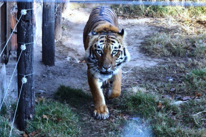 Insólito: detectan un tigre y una leona en un campo de Maggiolo